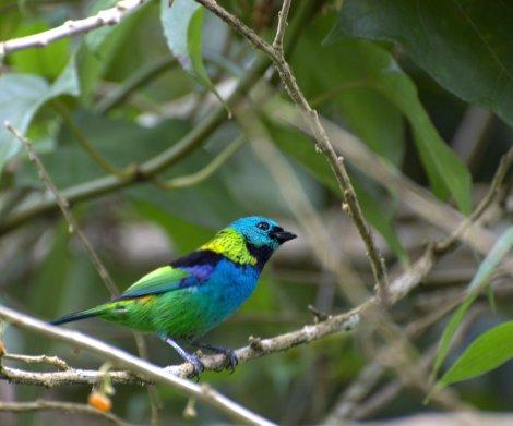 Espécies de pássaros em Itatiaia